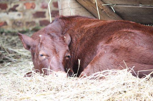 Mount Vernon Cows 2